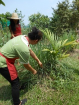 Emdee cutting lemongrass